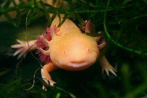 axolotl-animales-agatar-almeria